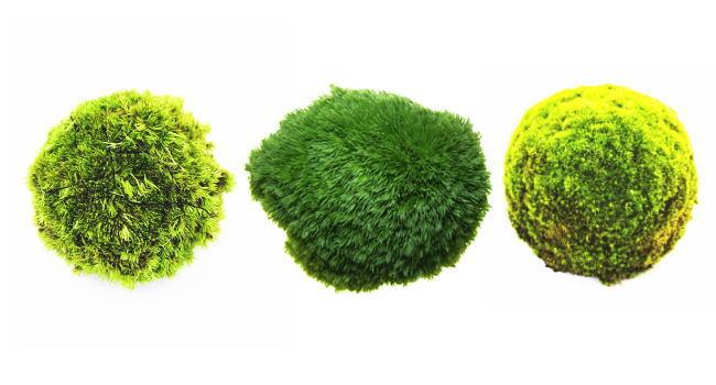 苔玉におすすめの苔
