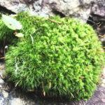 水分をしっかり吸収した苔