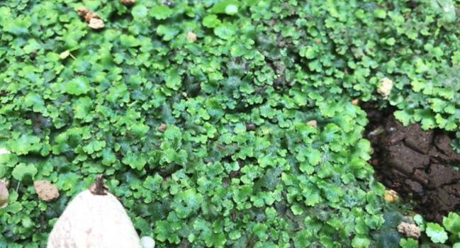 庭に勝手に生えてくるゼニゴケ