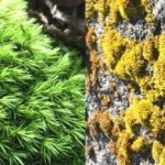 街中の苔と山の苔