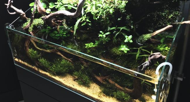 水槽で育てられる苔