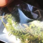 採取した苔