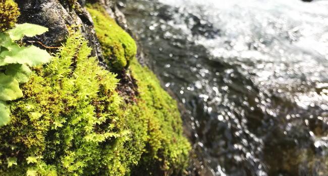 渓流沿いに生える苔