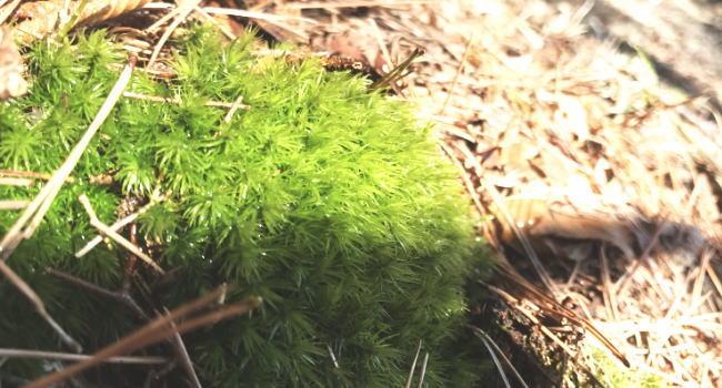林床に生えるシッポウゴケ