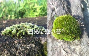 日光に強い苔