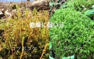 乾燥に弱い苔